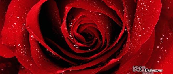 red_rose_01